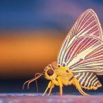 bug-falena